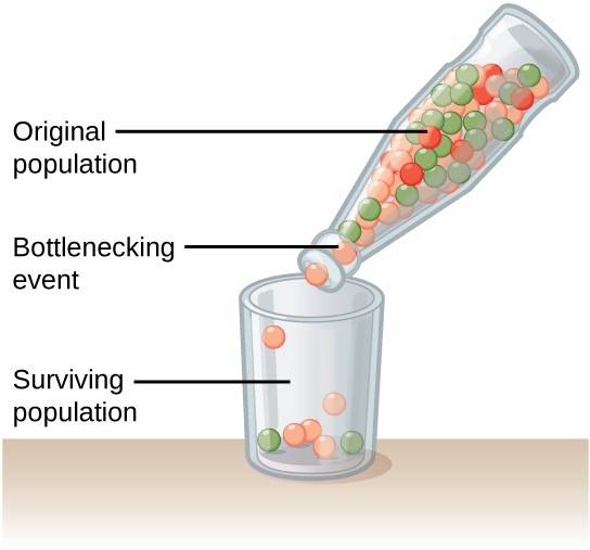 This illustration shows a narrow-neck bottle filled with red, orange, and green marbles. The bottle is tipped so the marbles pour into a glass. Because of the bottleneck, only seven marbles escape, and these are all orange and green. The marbles in the bottle represent the original population, and the marbles in the glass represent the surviving population. Because of the bottleneck effect, the surviving population is less diverse than the original population.
