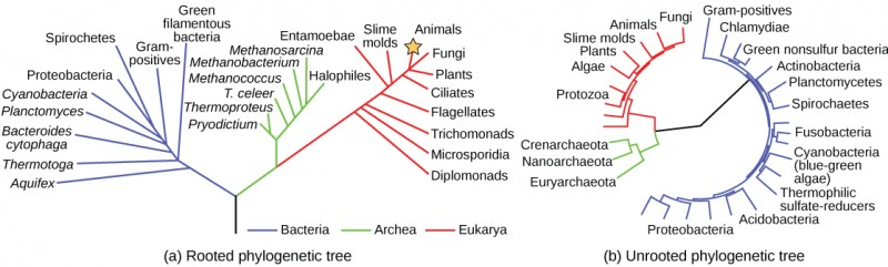The phylogenetic tree in part a is rooted and resembles a living tree, with a common ancestor indicated as the base of the trunk. Two branches form from the trunk. The left branch leads to the domain Bacteria. The right branch branches again, giving rise to Archaea and Eukarya. Smaller branches within each domain indicate the groups present in that domain. The phylogenetic tree in part B is unrooted. It does not resemble a living tree; rather, groups of organisms within the Archaea, Eukarya, and Bacteria domains are arranged in a circle. Lines connect the groups within each domain. The groups within Archaea and Eukarya are then connected together. A line from the Archaea/ Eukarya domains, and another from the Bacteria meet in the center of the circle. There is no root, and therefore no indication of which domain arose first.
