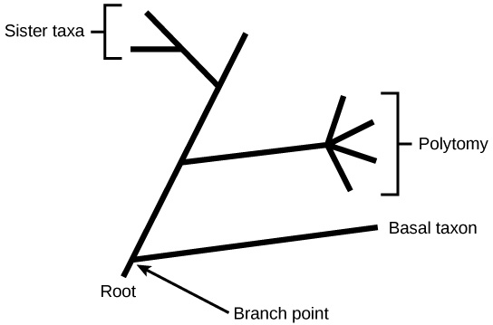 Illustration shows a phylogenetic tree that starts at a root, indicating that all organisms on the tree share a common ancestor. Shortly after the root, the tree branches out. One branch gives rise to a single, basal lineage, and the other gives rise to all other organisms on the tree. The next branch forks at one point into four different lineages, an example of polytomy. The final branch gives rise to two lineages, an example of sister taxa.