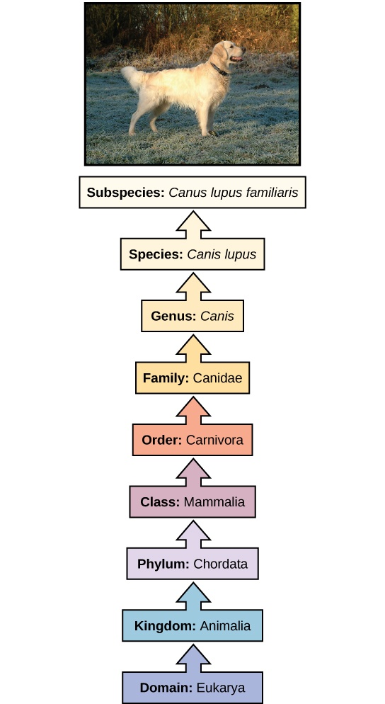 The illustration shows the classification of a dog, which belongs in the domain Eukarya, kingdom Animalia, phylum Chordata, class Mammalia, order Carnivore, family Canidae, genus Canis, species Canis lupus, and the subspecies is Canis lupus familiaris.