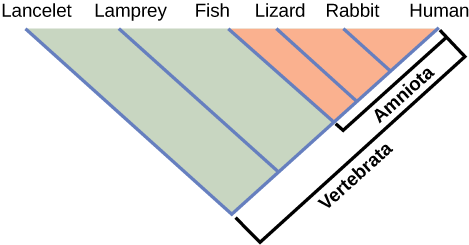 The illustration shows the V-shaped Vertebrata clade, which includes lancelets, lampreys, fish, lizards, rabbits, and humans. Lancelets are at the left tip of the V, and humans are at the right tip. Four more lines are drawn parallel to the lancelet line; each of these lines starts further up the right arm of the V than the next. At the end of each line, from left to right, are lampreys, fish, lizards, and rabbits. Lizards, rabbits, and humans are in the clade Amniota, which form a small V nested in the upper right-hand corner of the V-shaped Vertebrata clade.