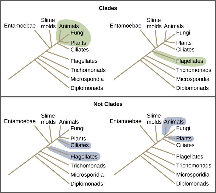 Illustrations show a phylogenetic tree that includes eukaryotic species. A central line represents the trunk of the tree. From this trunk, various groups branch. In order from the bottom, these are diplomonads, microsporidia, trichomonads, flagellates, entamoebae, slime molds, and ciliates. At the top of the tree, animals, fungi and plants all branch from the same point and are shaded to show that they belong in the same clade. Flagellates are on a branch by themselves, and they also form their own clade and are shaded to show this. In another image, Flagellates and ciliates are shaded to show that they branch from different points on the tree and are not considered clades. Likewise, a grouping of animals and plants but not fungi would not be considered a clade cannot exclude a branch originating at the same point as the others.