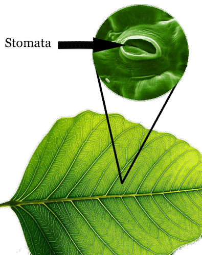 Tiny stomata are found on a plant leaf
