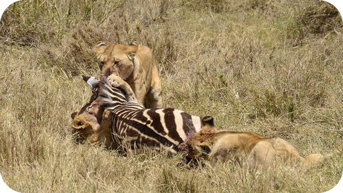 Lions feeding on the carcass of a zebra