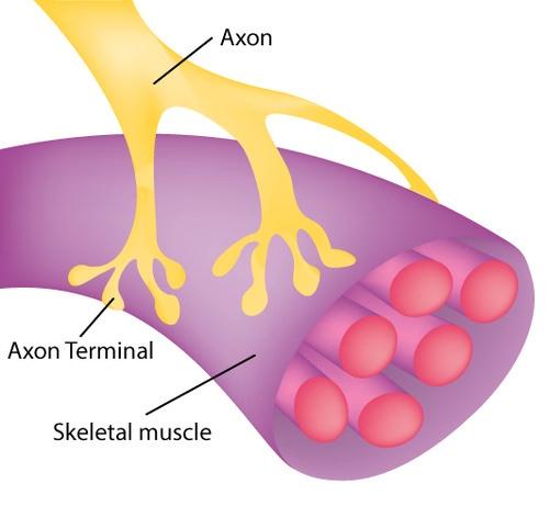 Motor neuron axon