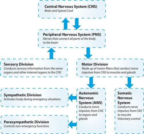 Divisions of the nervous system