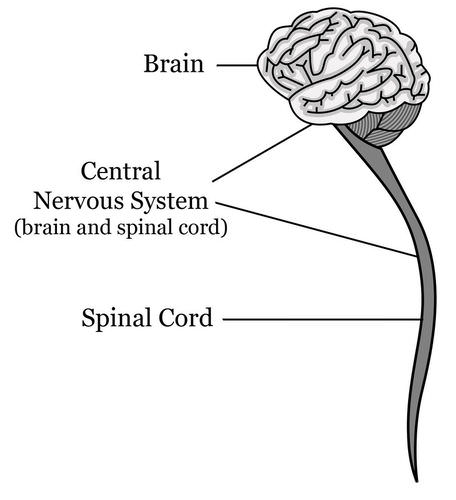 Components of the central nervous system