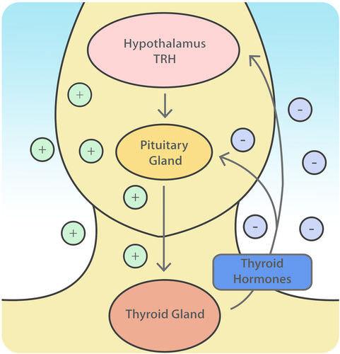 Regulation of the thyroid gland