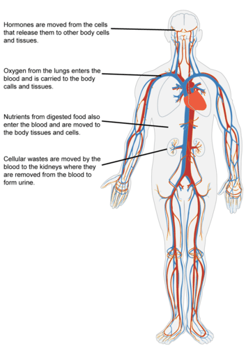 Circulatory system relative to body