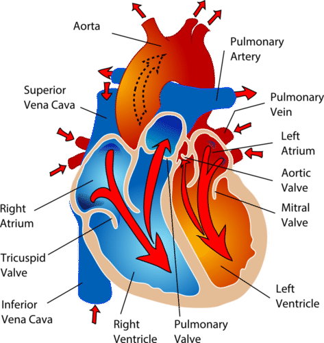 The chambers of the heart and the valves between them are shown here.