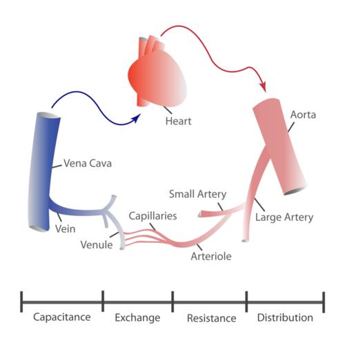 Various blood vessels