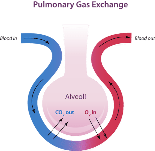 Alveoli are tiny sacs in the lungs where gas exchange takes place.