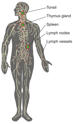 Components of the lymphatic system