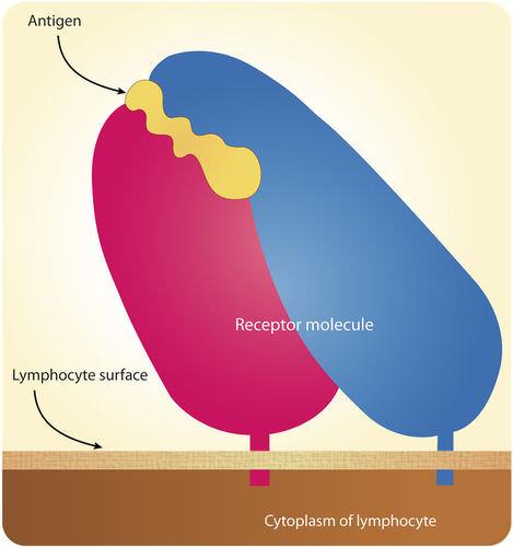 Antigen receptor interaction