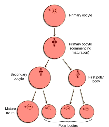 Oogenesis diagram