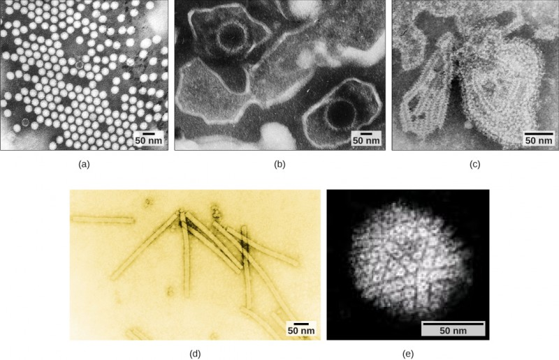 Micrograph a shows icosahedral polioviruses arranged in a grid; micrograph b shows two Epstein-Barr viruses with icosahedral capsids encased in an oval membrane; micrograph c shows a mumps virus capsid encased in an irregular membrane; micrograph d shows rectangular tobacco mosaic virus capsids; and micrograph e shows a spherical herpesvirus envelope studded with glycoproteins.