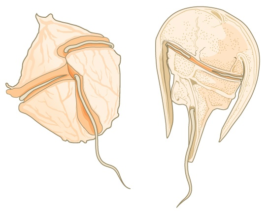 The illustration shows two dinoflagellates. The first is walnut-shaped, with a groove around the middle and another perpendicular groove that starts at the middle and extends back. Flagella fit in each groove. The second dinoflagellate is horseshoe-shaped, with the body extending from the wide part of the horseshoe toward the narrow end. Like the first dinoflagellate, this one has two perpendicular grooves, each containing a flagellum.