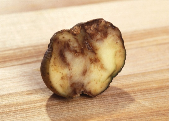 The photo shows a slice of potato that has browned and appears rotten.