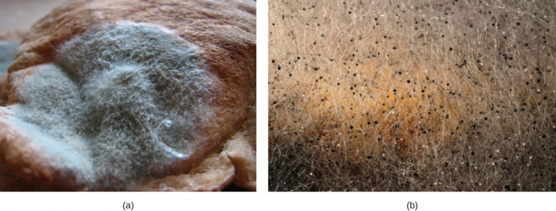 The photo shows a thick layer of green mold growing on bread. Fuzzy white projections grow from the mold.