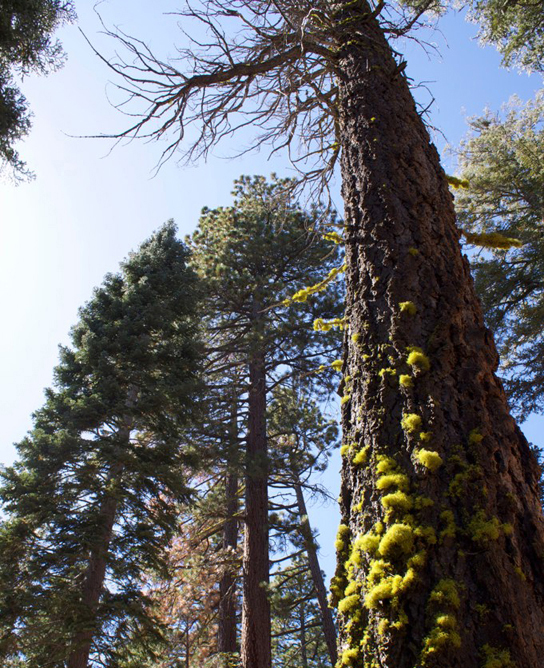 Photo shows a tall pine tree covered with green lichen.