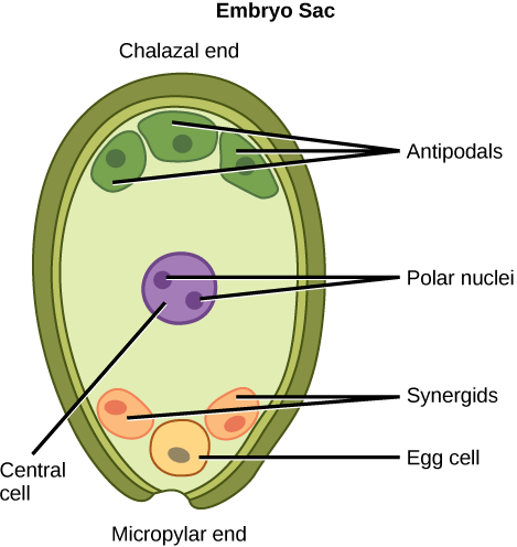 Illustration depicts the embryo sac of an angiosperm, which is egg-shaped. The narrow end, called the micropylar end, has an opening that allows pollen to enter. The other end is called the chalazal end. Three cells called antipodals are at the chalazal end. The egg cell and two other cells called synergids are at the micropylar end. Two polar nuclei are inside the central cell in the middle of the embryo sac.