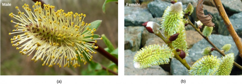 Photo A shows the long, thin flower male of the white willow, which has long, hair-like appendages jutting out all along its length. Photo  B shows the female flower from the same plant. The shape is similar, but the hair-like appendages are missing.