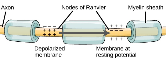 Illustration shows an axon covered in three bands of myelin sheath. Between the sheath coverings the axon is exposed. The uncovered parts of the axon are called nodes of Ranvier. In the illustration, the left node of Ranvier is depolarized such that the membrane potential is positive inside and negative outside. The right membrane of the right node is at the resting potential, negative inside and positive outside. An arrow indicates that the depolarization jumps from the left node to the right, so that the right node becomes depolarized.