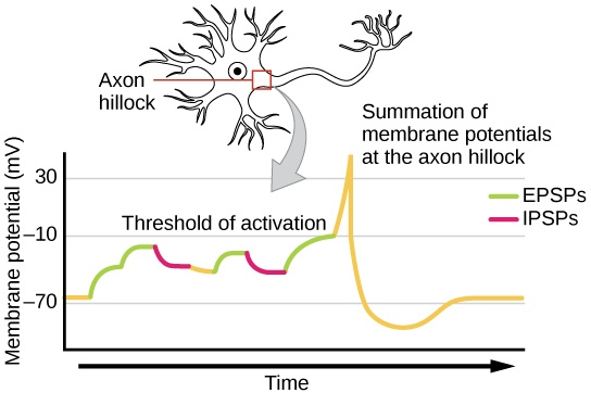 Illustration shows the location of the axon hillock, which is the area connecting the neuron body to the axon. A graph shows the summation of membrane potentials at the axon hillock, plotted as membrane potential in millivolts versus time. Initially, the membrane potential at the axon hillock is -70 millivolts. A series of EPSPs and IPSPs cause the potential to rise and fall. Eventually, the potential increases to the threshold of excitation. At this point the nerve fires, resulting in a sharp increase in membrane potential, followed by a rapid decrease. The hillock becomes hyperpolarizes such that the membrane potential is lower than the resting potential. The hillock then gradually returns to the resting potential.