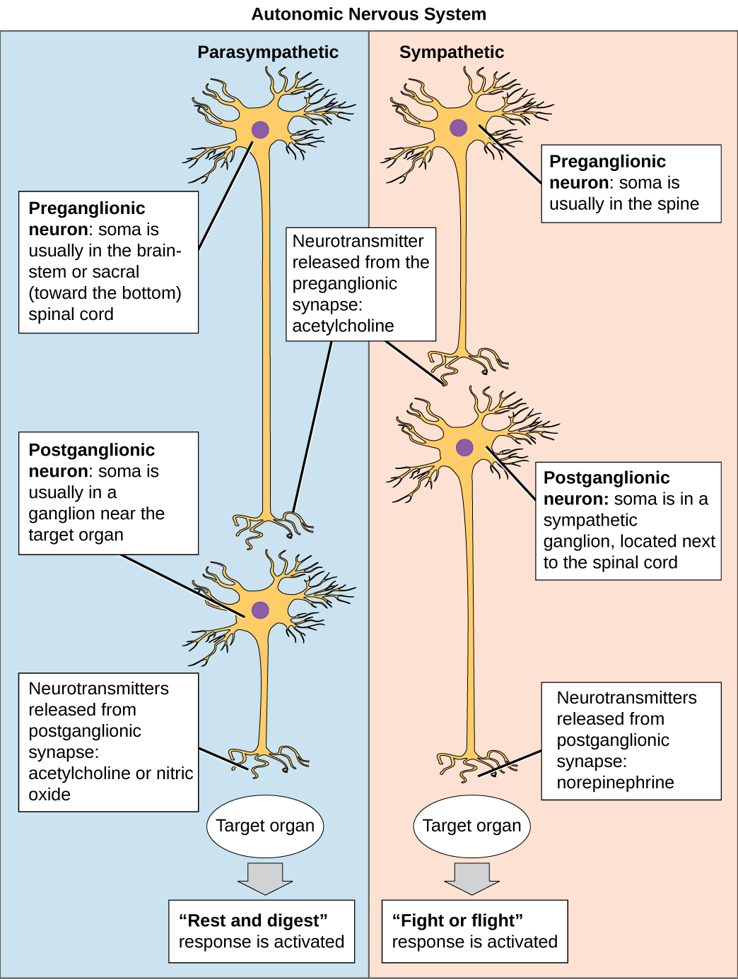 The autonomic nervous system is divided into sympathetic and parasympathetic systems. In the sympathetic system, the soma of the preganglionic neurons is usually located in the spine while in the parasympathetic system the soma is usually in the brainstem or sacral, at the bottom of the spine. In both systems, the preganglionic neuron releases the neurotransmitter acetylcholine into the synapse. Postganglionic neurons of the sympathetic system have somas in a sympathetic ganglion, located next to the spinal cord. Postganglionic neurons of the parasympathetic system have somas in ganglions near the target organ. Postganglionic neurons of the sympathetic system release norepinephrine into the synapse, while postganglionic neurons of the parasympathetic system release acetylcholine or nitric oxide.