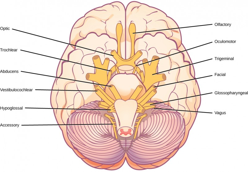 Illustration shows the underside of the brain. The twelve cranial nerves cluster around the brain stem, and are symmetrically located on each side. The olfactory nerve is short and lobe-like, and is located closest to the front. Directly behind this is the optic nerve, then the oculomotor nerve. All these nerves are located in front of the brain stem. The trigeminal nerve, which is the thickest, is located on either side of the brain stem. It forms three branches shortly after leaving the brain. The trochlear nerve is a small nerve in front of the trigeminal nerve. Behind the brain stem are the smaller facial, vestibulocochlear, glossopharyngeal and hypoglossal nerves. The nerve furthest back is the accessory nerve.