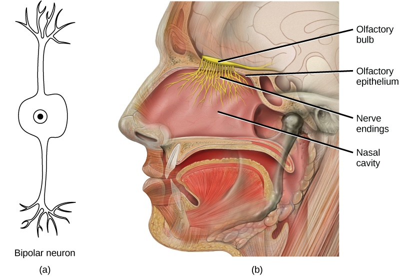 Illustration A shows a bipolar neuron, which has two dendrites. Illustration B shows a cross section of a human head. The nostrils lead to the nasal cavity, which sits above the mouth. The olfactory bulb is just above the olfactory epithelium that lines the nasal cavity. Neurons run from the bulb into the nasal cavity.