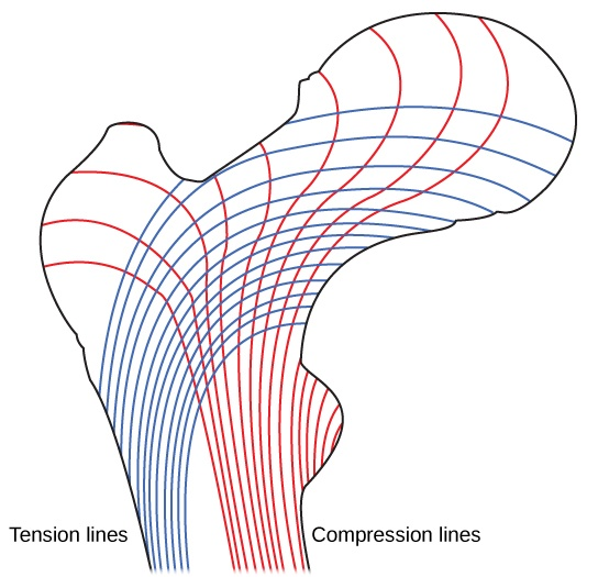 Illustration shows tension lines in a long bone, which start out perpendicular to the epiphysis and then turn and run along the length of the bone. Compression lines run the length of the bone opposite the side of the tension lines.