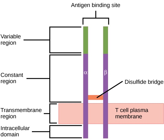 Illustration shows a T cell receptor, which has two column-like subunits that project from the plasma membrane. The subunits, named alpha and beta, are connected by a disulfide bridge. The upper third of the extracellular portion of each column is called the variable region, and the lower two-thirds is called the constant region. The region that spans the membrane is called the transmembrane region. Beneath the transmembrane region is a short, intracellular region.