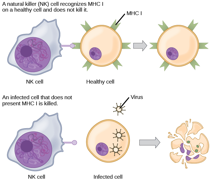 Healthy, uninfected cells present MHC I on their surface. A natural killer cell recognizes the MHC I and does not kill the cell. An infected cell that does not produce MHC I is killed.