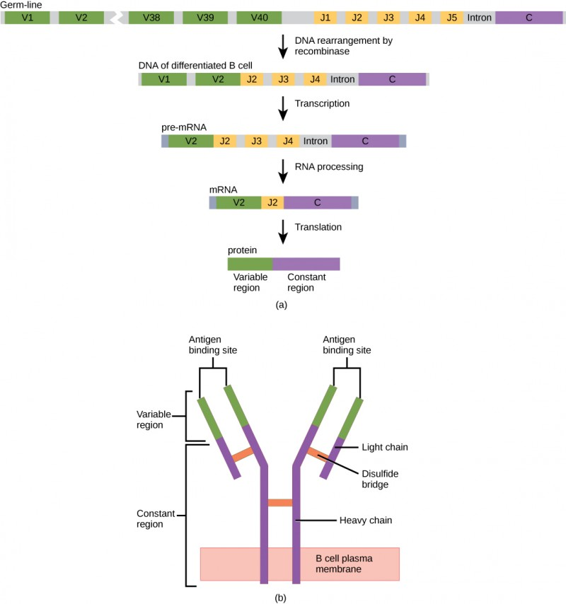 Part A shows the arrangement of gene segments encoding antibody light chains in a germ-line B cell. The segment contains forty consecutive V regions, named V1 through V 40, five consecutive J regions named J1 through J5, and a constant region. J5 and the constant region are separated by an intron. DNA recombinase splices out the portion of DNA containing segments V3 through J1, resulting in a differentiated B cell. The gene is transcribed into pre-RNA. RNA processing splices out all but the V2, J2 and C regions. Translation results in a protein with a variable region formed from the V2 and J2 segments, and a constant region formed from the C region. The light chain joins the heavy chain to form a Y-shaped antibody.