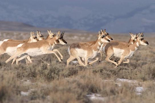 Photo (b) shows pronghorn antelope running on a plain.