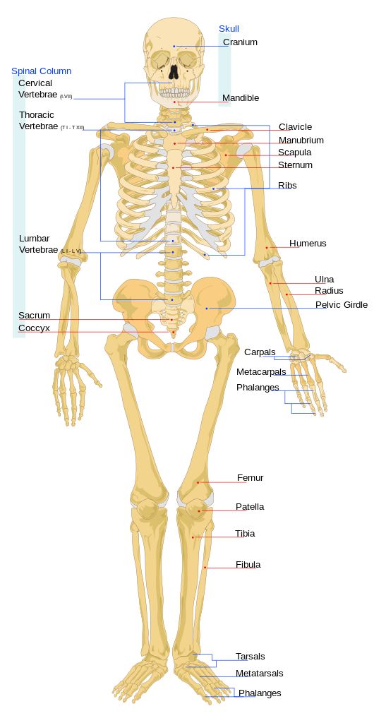 The human skeleton consists of bones, cartilage, and ligaments.