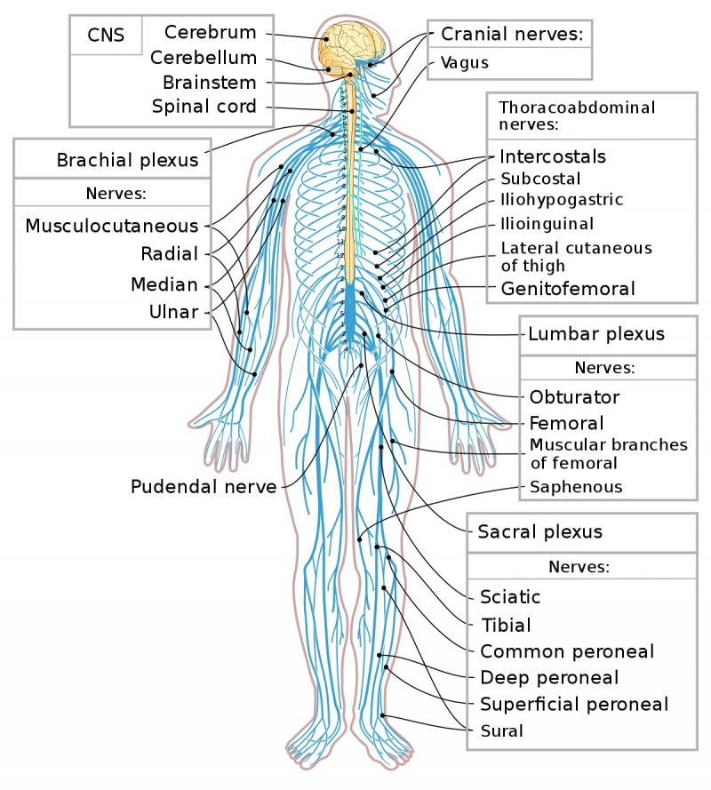Peripheral Nervous System The Nervous System Human Biology