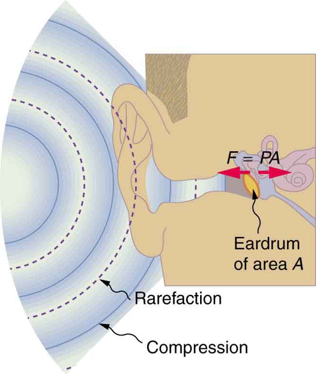 Diagram of an ear is shown with sound wave compressions and rare factions entering the ear as semicircular arcs of bold and dotted lines. The cross section of ear drum marked as A is shown to vibrate to and fro with a force F equals P times A.