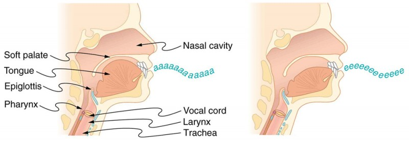 Two pictures of the throat and mouth in cross-section are shown. The first picture has parts of the mouth and throat labeled. The first picture shows the position of the mouth and tongue when producing an a a a sound, and the second picture shows the position of the mouth and tongue when producing an e e e sound.